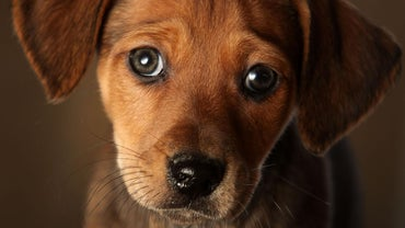 What Are Some Symptoms of Congestive Heart Failure in Dogs?