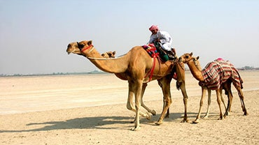 How Tall Is a Camel?