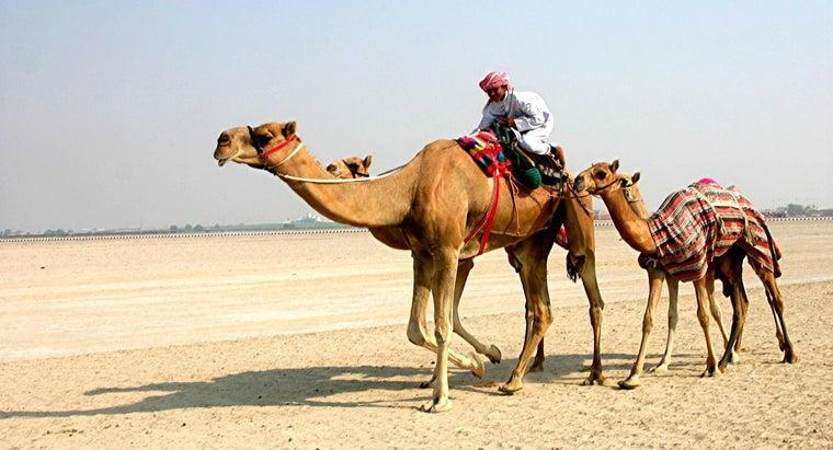 tall-camel
