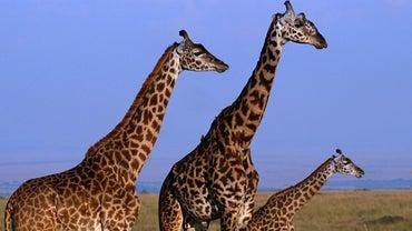 How Tall Can a Giraffe Grow?