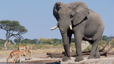 How Tall Are Elephants?