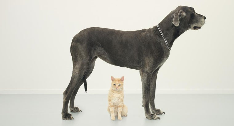 tall-great-danes