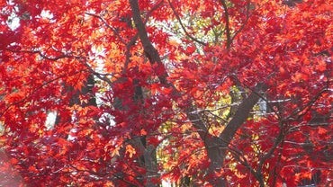 How Tall Does a Japanese Dwarf Red Maple Grow?