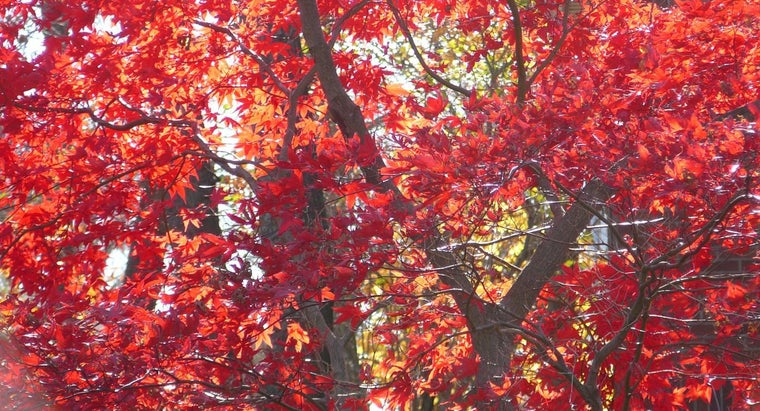 tall-japanese-dwarf-red-maple-grow