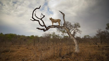 How Tall Is a Lion?