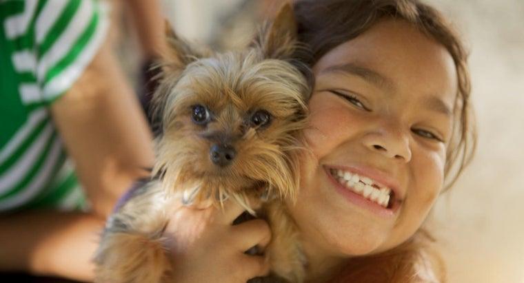 tall-miniature-yorkshire-terrier