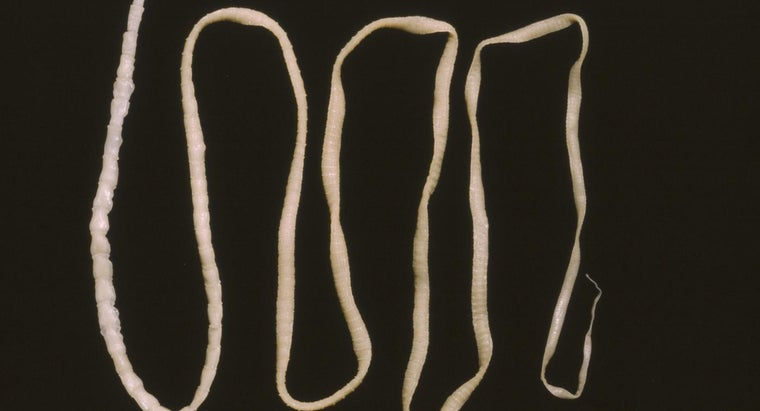 tapeworm-look-like