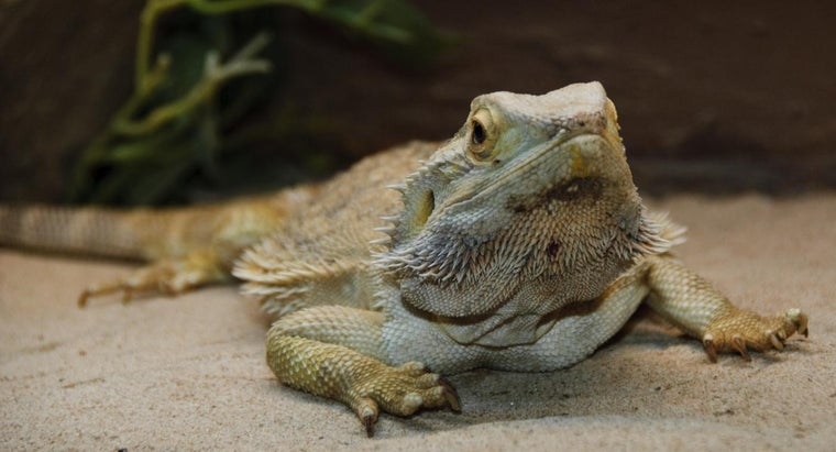 teach-bearded-dragon-tricks