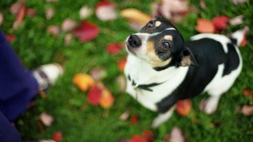 How Do You Tell the Difference Between a Toy Rat Terrier and a Chihuahua?