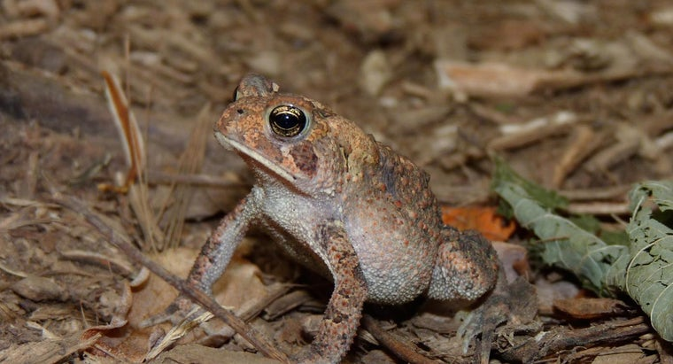 tell-male-eastern-american-toad-female
