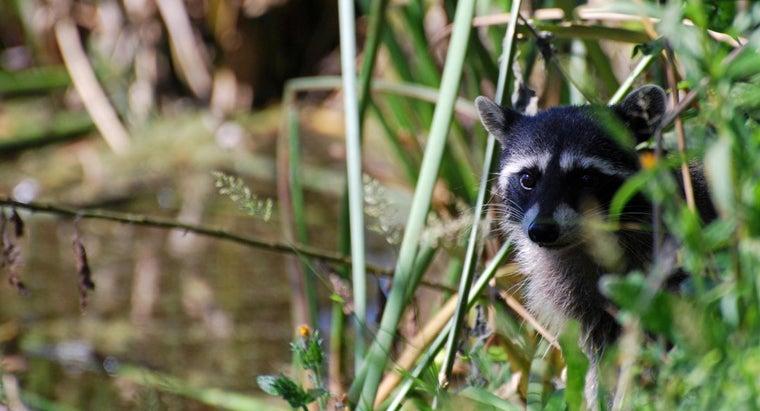 tell-male-female-raccoon