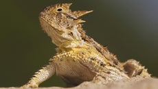 What Is the Texas State Reptile?