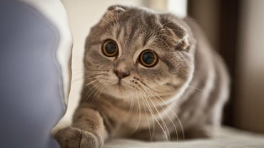 What Are Some Things to Consider Before Buying a Scottish Fold Kitten?