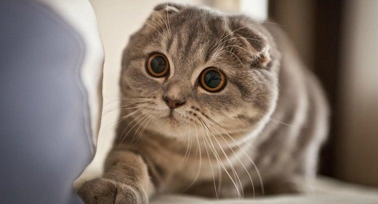 things-consider-before-buying-scottish-fold-kitten