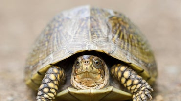 What Is a Three-Toed Box Turtle?