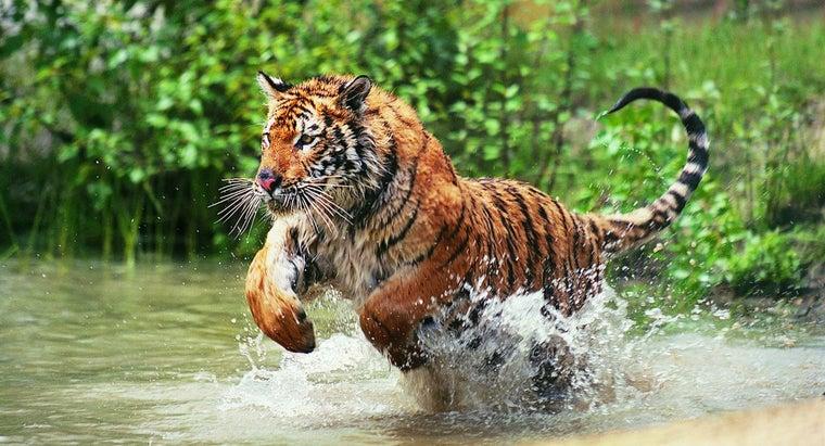 draw-tiger