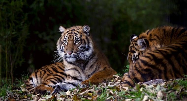 tigers-communicate