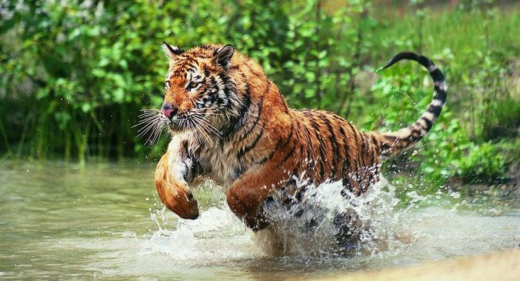 tigers-live-jungle