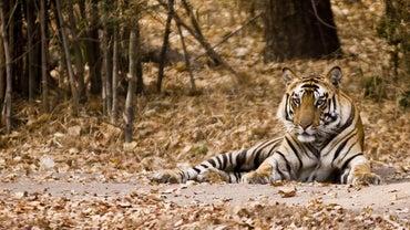 Where Do Tigers Live?