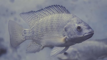 Is Tilapia a Bottom Feeder?