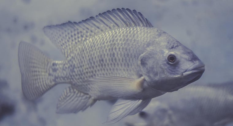 tilapia-bottom-feeder