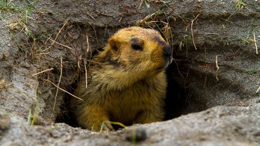 What Time Does the Groundhog Come Out?