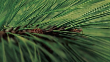 What Is the Best Time to Plant Pine Trees?