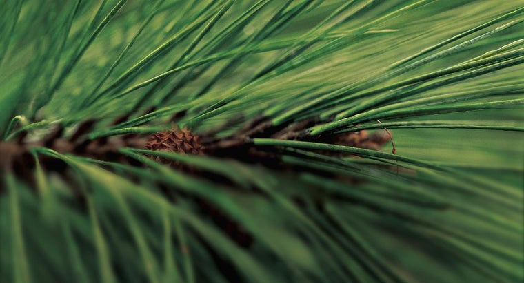 time-plant-pine-trees