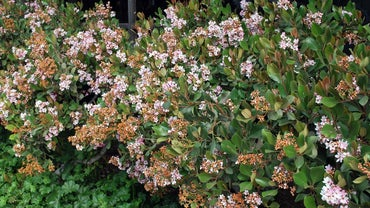 What Are Some Tips on Growing an Indian Hawthorn Tree?