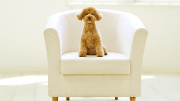 When Is a Toy Poodle Full-Grown?