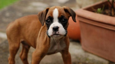 What Are Some Traits of Purebred Boxer Puppies?