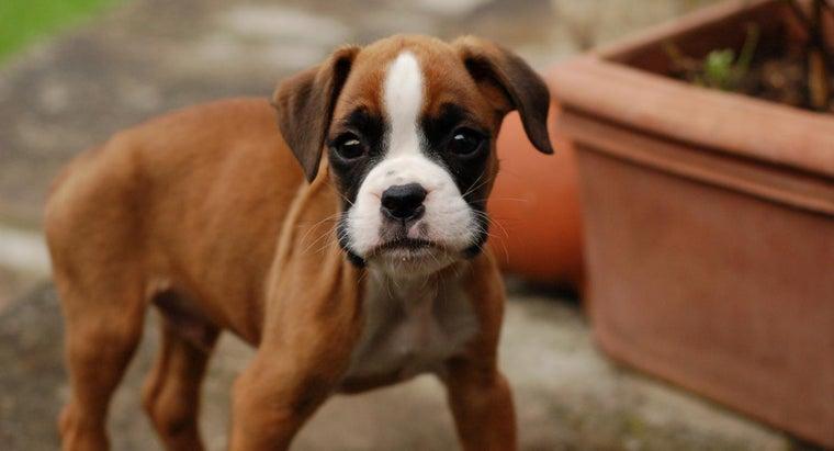 traits-purebred-boxer-puppies