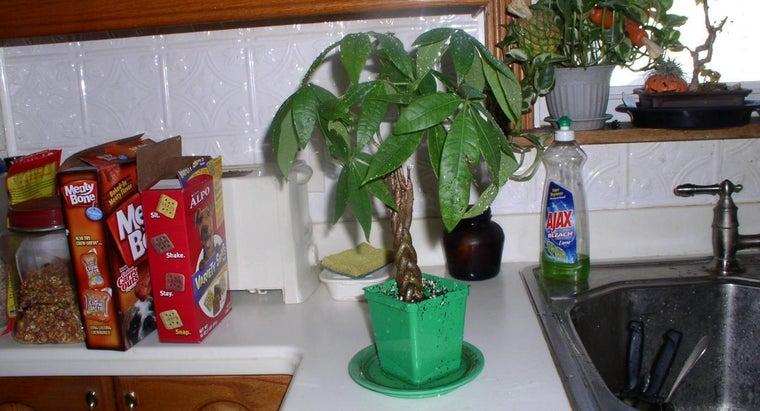 transplant-braided-money-tree-plant