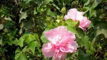 How Do You Transplant Confederate Roses?