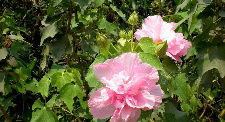 transplant-confederate-roses