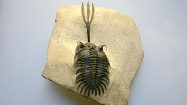 Why Are Trilobites Considered Index Fossils?