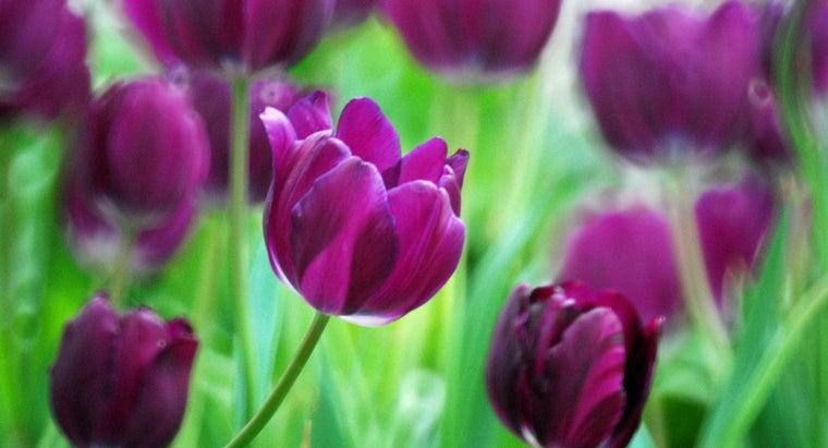 tulip-represent