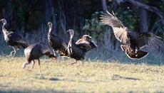 Do Turkeys Fly?