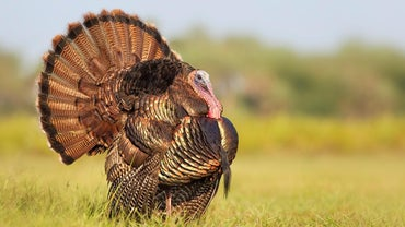 What Do Turkeys Look Like?