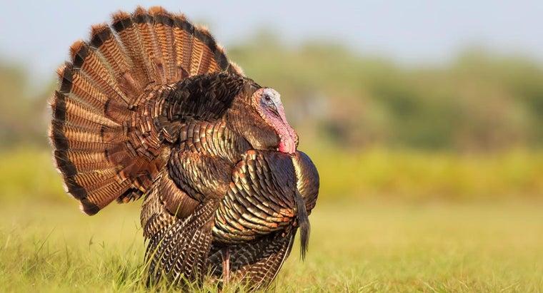 turkeys-look-like