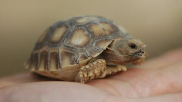 How Do Turtles Reproduce?
