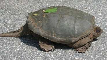 Why Do Turtles Have Tails?