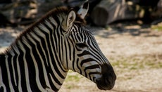 What Two Animals Make a Zebra?