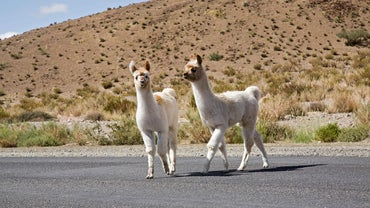 What Is a Baby Llama Called?