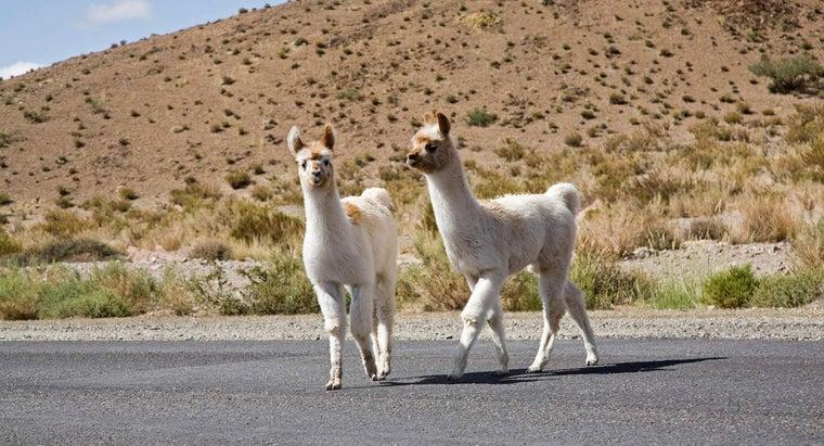 baby-llama-called