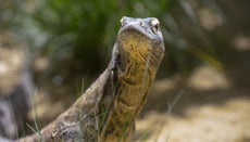 In Which Type of Biome Can a Komodo Dragon Usually Be Found?