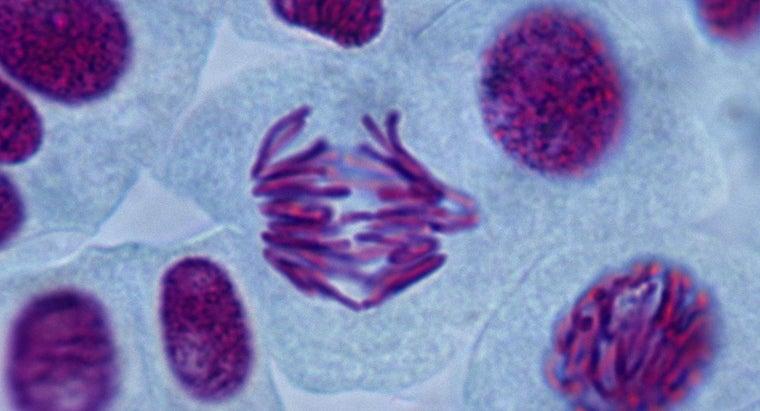 type-cells-undergo-mitosis
