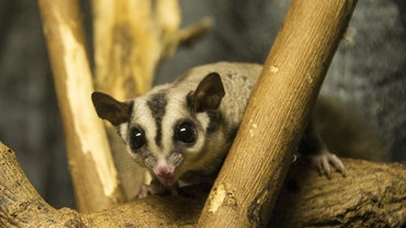 What Type of Enclosure Do Sugar Gliders Live In?