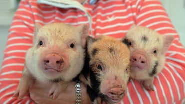 What Type of Vaccinations Are Required for Micro Pigs?