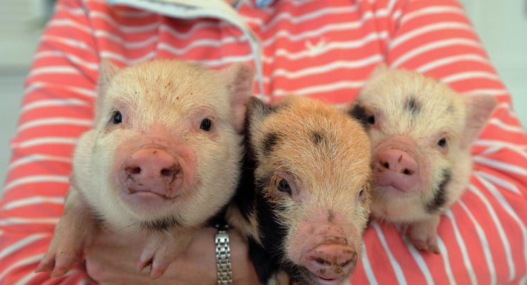 type-vaccinations-required-micro-pigs